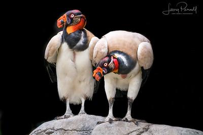 Royal Vultures - a pair