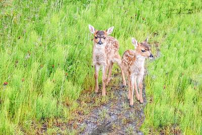Sitka Deer Fawns