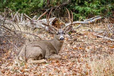 Mule Deer Buck  - merced river