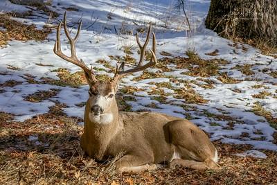 Mule Deer Buck - ahwahnee meadow