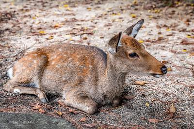 Sita Deer - Japan