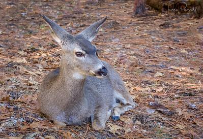 Mule Deer Doe