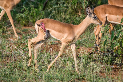 Impala - Ingwelala - injured