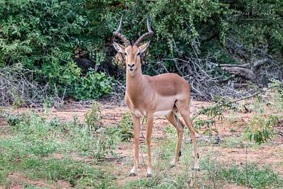 Impala - Ingwelala - 1