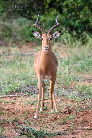 Impala - Ingwelala 2