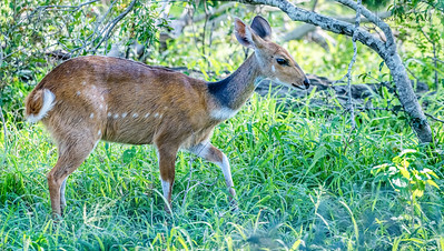 Bush Buck - Kruger