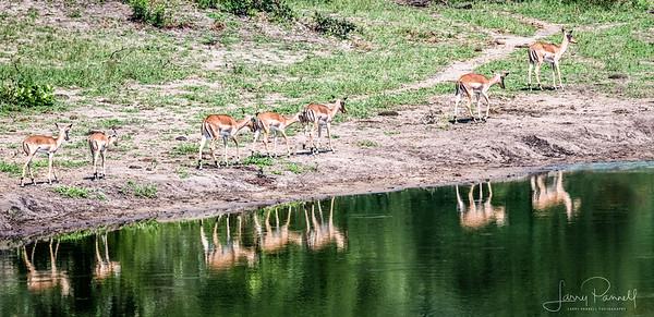 Impala - Ingwelala_herd