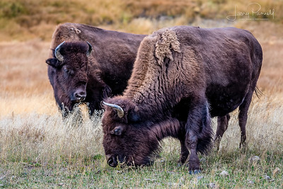 American Bisons - pair