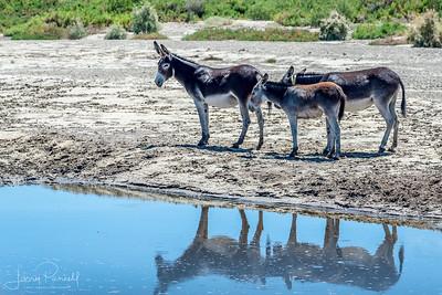 Wild Donkeys at Waterhole