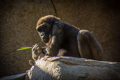 Gorilla Relaxing in the Afternoon Sun