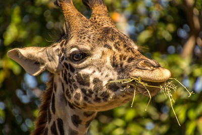 Giraffe Having Lunch