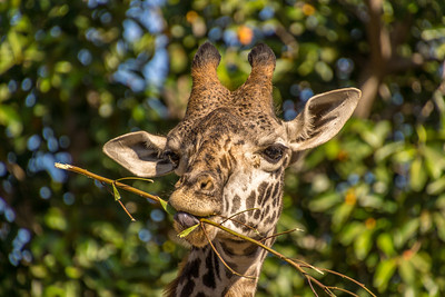 Giraffe Having Meal