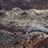 Carmel, CA,- Photo of a California Sea Lion lying on the rocks at Point Lobos State Reserve