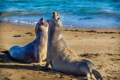 sparring Elephant Seals