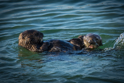 Sea Otters at Play