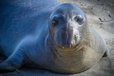 Elephant Seal Face