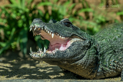 Western African Dwarf Crocodile