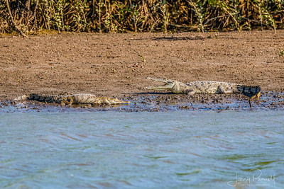 Spectacled Caiman - pair