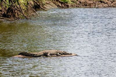Nile Crocodile - basking