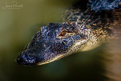 American Alligator - swimming