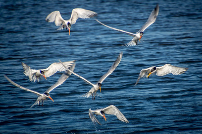 Elegant Terns Diving for Fish