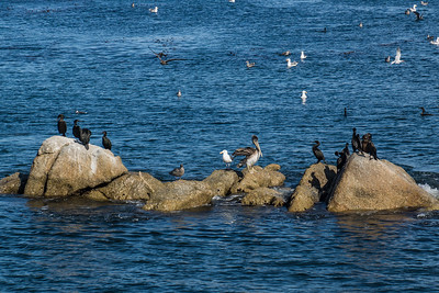 Seabirds of Monterey Bay