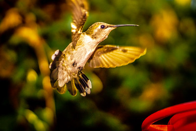 Anna hummingbird  in flight 1