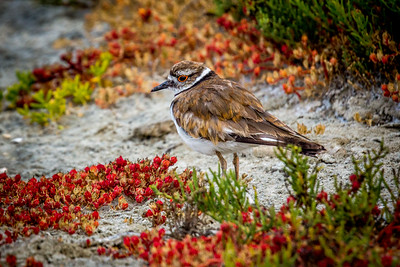 Killdeer Feeding in Marsh