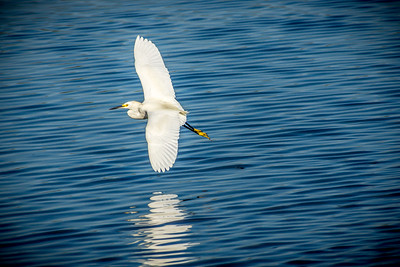 Snow Egret in Flight