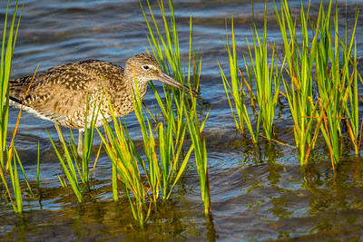 Willet feeding in the Marsh