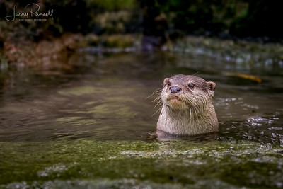 Asian Small Clawed Otter - pond