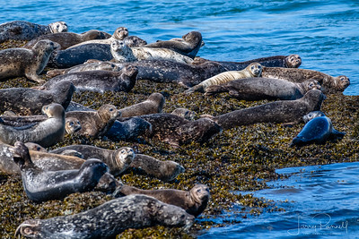 Fur Seal Colony - Alaska