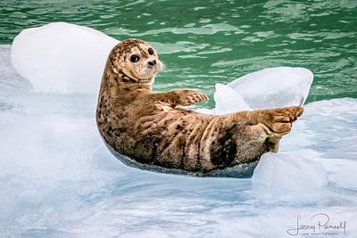 Spotted Seal  - Alaska