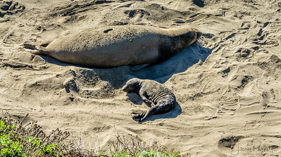 Calfiornina Sea Lion  - mother and pup