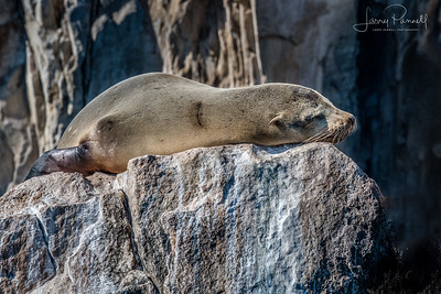 California Sea Lion - Cabo
