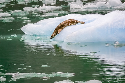 Spotted Seal Dive