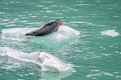 Spotted Seal - Sawyer Glacier