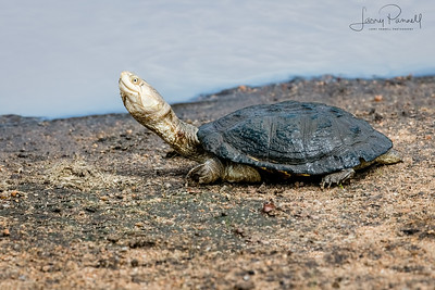 Serrated Hinged Terrapin - South Africa