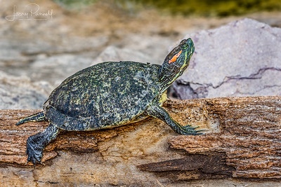 Red Ear Slider Turtle