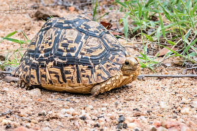 Leopard Tortoise Resting - South Africa