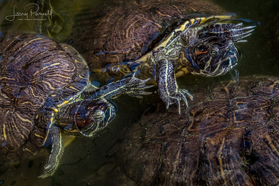 Red Ear Slider Turtle - pair