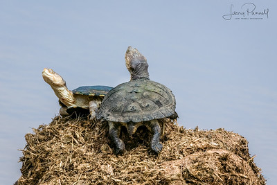 Serrated Hinged Terrapin - King of the Hill