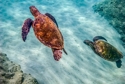 Green Sea Turtles - Maui