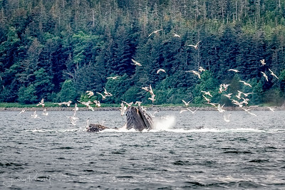 Humpback Whales and Birds Feeding