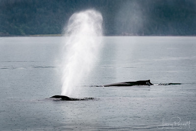 Humpback Whale and Calf - Juneau