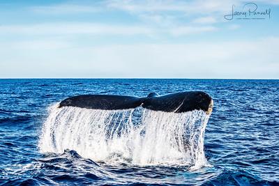 California Gray Whale - Waterfall