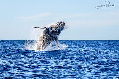 California Gray Whale - Cabo Breech