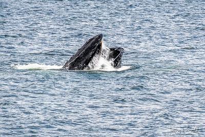 Humpback Whale Feeding - Sitka