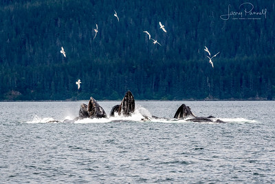 Bubble Net Feeding Humpback Whales