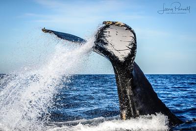 California Gray Whale - Cascade